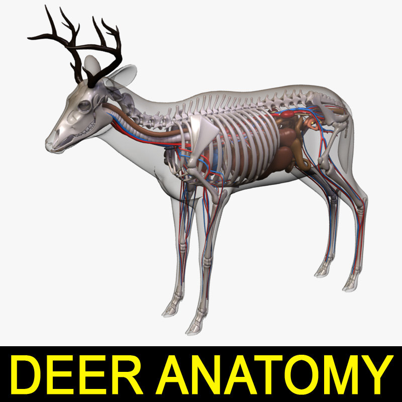 Whitetail deer anatomy 7115612 - follow4more.info