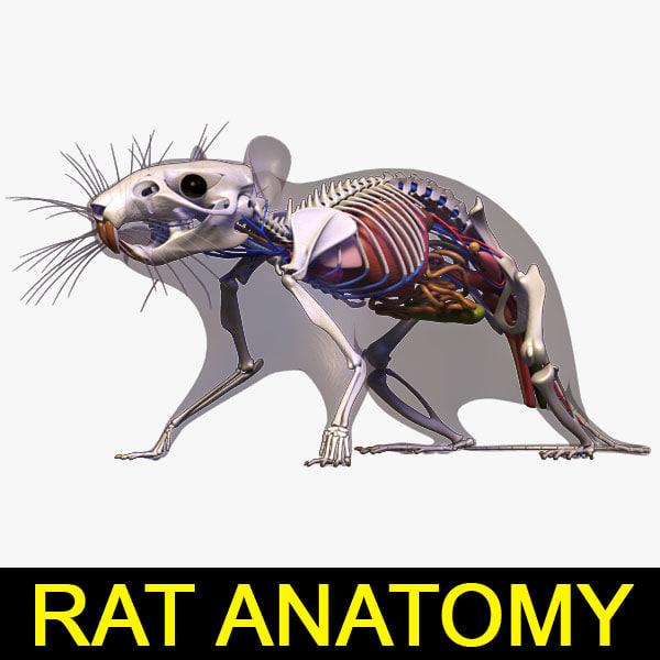 Internal anatomy of a rat