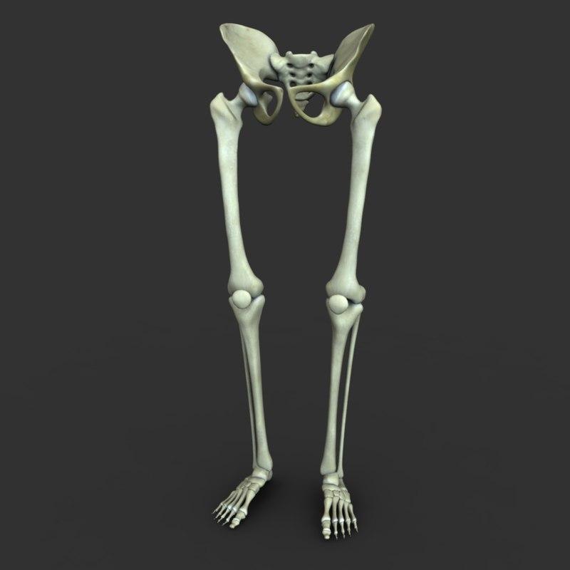 Human skeleton leg and foot