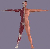 Anatomy_male.3ds