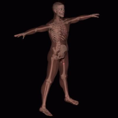 bone structure 3d model