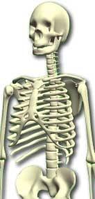 accurate human skeleton 3d model