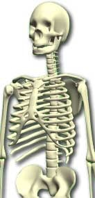 accurate human skeleton 3d model