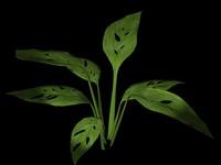 plant leaf max