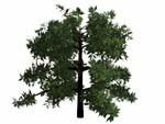 cedar trees cob