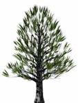 black pine 3d model