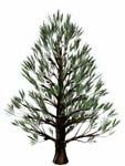 pine bryce obj