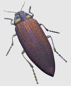 3d model jewel beetle