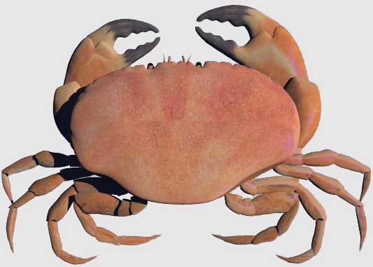 3d model of edible crab