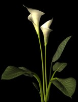 calla lily.3ds.zip