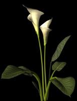 calla lily.3ds