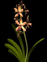 cymbidium parish jewel orchid.3ds