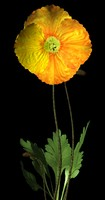 iceland poppy.3ds.zip