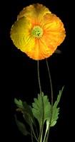 Iceland Poppy.obp.zip
