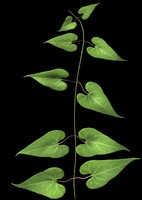 wild plant flower 3d br4