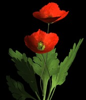Red Corn Poppy.obj