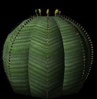 Euphorbia Obesa.obj.zip