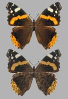 maya butterfly wings