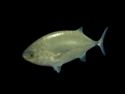 fish schools shiny 3d model