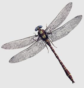 dragonfly hawker obj