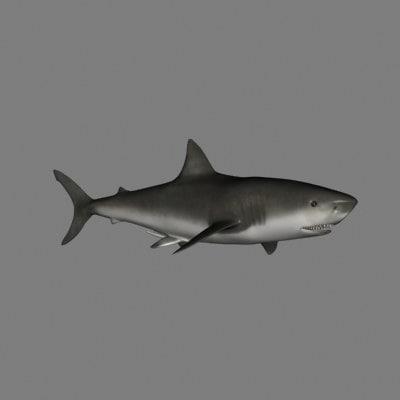 3d model of shark animation great white