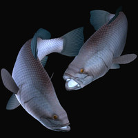 barramundi swimming 3d model
