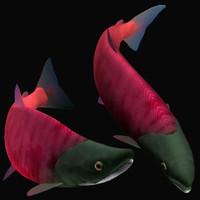 fish benizake 3d model