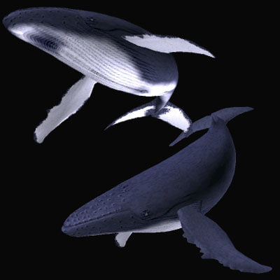 3d model humpback whale zatou
