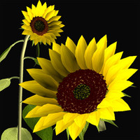 flower sunflower 3d model