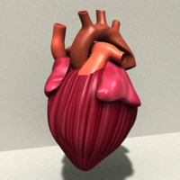 heart anatomy 3d model