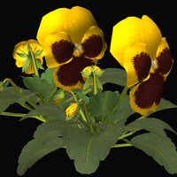 3d flower pansy