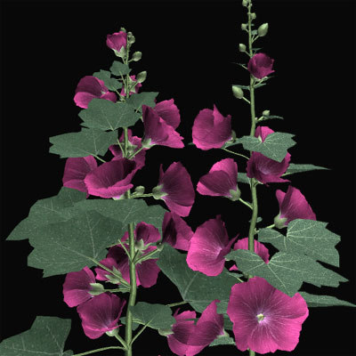3dsmax althaea tatiaoi flower