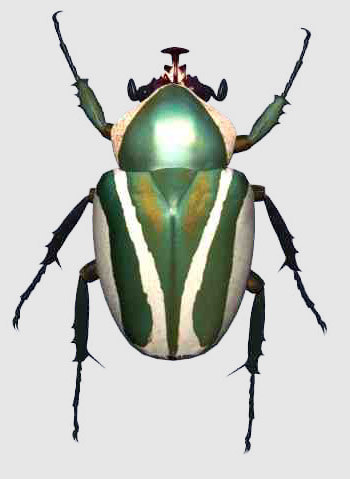 3d model scarab beetle