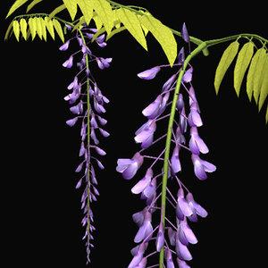 3d model wisteria fuji