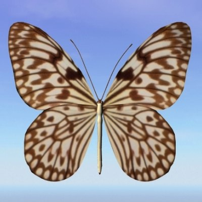 butterfly loxolomia 3d max