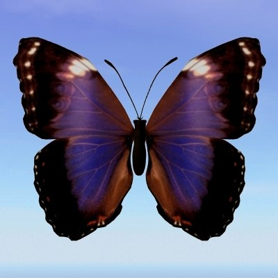 butterfly morpho violacca max