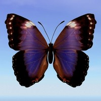 butterfly morpho violacca obj