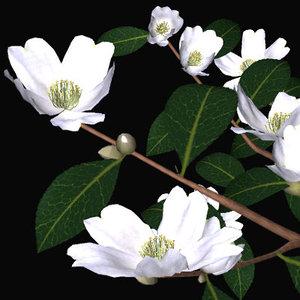 3d camellia sazanka model