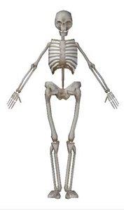 human skeleton 3d model