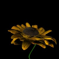 sunflower flower c4d