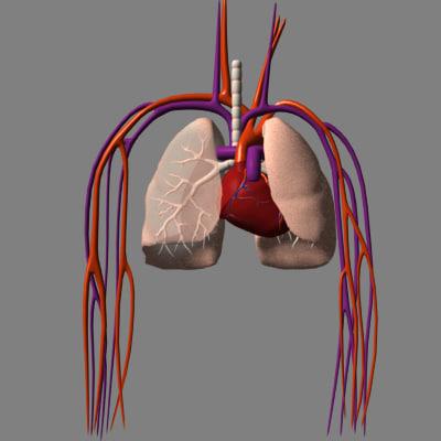heart arteries lungs 3d model
