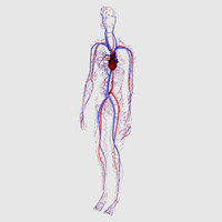arteries veins heart female 3d model