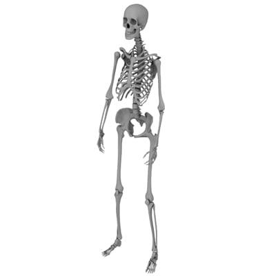 skeletal frame female 3d model