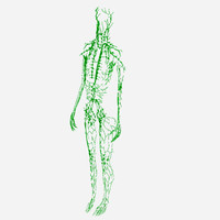 lymphatic female 3d model