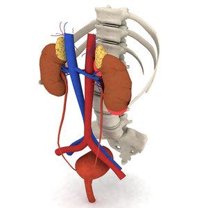 sacrum pelvis spinal column 3d model