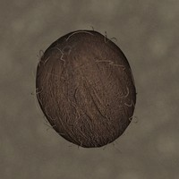 coconut fruit 3d model