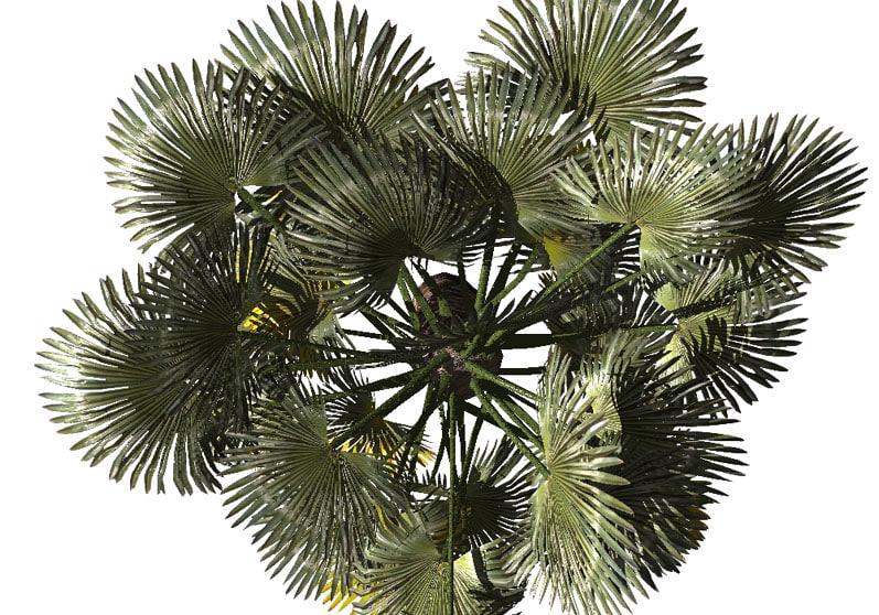 palm scrub tree lwo