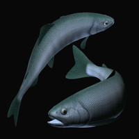 3d salmo himemasu model