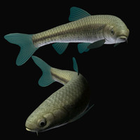 3d gnathopogon tamoroko model