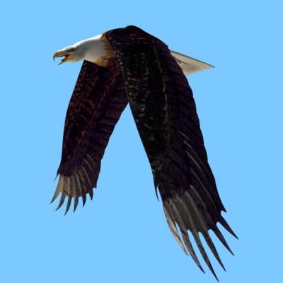 3d american bald eagle morph